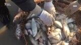 Новый мор рыбы - в озерах Павлодарской области. Что происходит?