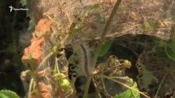 «Скоро залишимося без рослин». У Севастополі гусениця-метелик поїдає листя на деревах (відео)