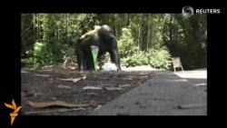 АҚШ зоопаркида 4 яшар болани қутқариш учун горилла отиб ташланди
