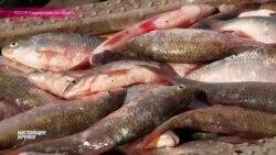 Калининградские рыбаки жалуются на сложности рыболовства в Куршском заливе