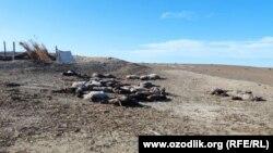 Бухара. По словам фермера из Пешкунского района, его овцы гибнут голодной смертью.