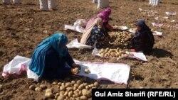 زنان کشاورز کچالو در بامیان