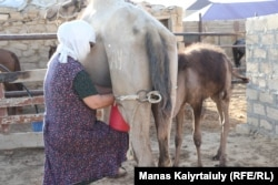 Закрывшая лицо он зноя и ветра женщина доит верблюдицу. Она говорит, что удой очень скромный, потому что животные не наедаются. Село Акшымырау