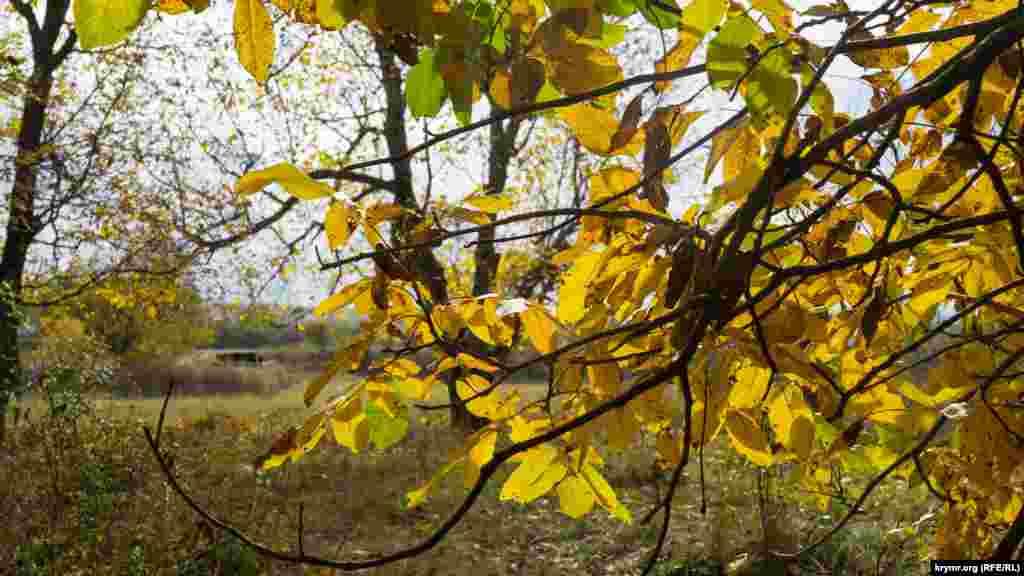 Волоські горіхи в долині річки Сарису