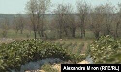 Teren nisipos cultivat cu căpșuni la ferma familiei Dinu, comuna Mîrșani, județul Dolj.