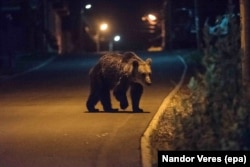 A wild brown bear crosses a road in Baile Tusnad in search of food. The tiny Transylvanian town, nestled between the Harghita and Bodoc mountains, is notorious for bear incursions.