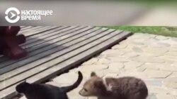 Удивительная история дважды спасенного медвежонка Мансура