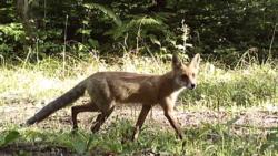 Forest Cameras Catch The Secret Lives Of Georgian Animals