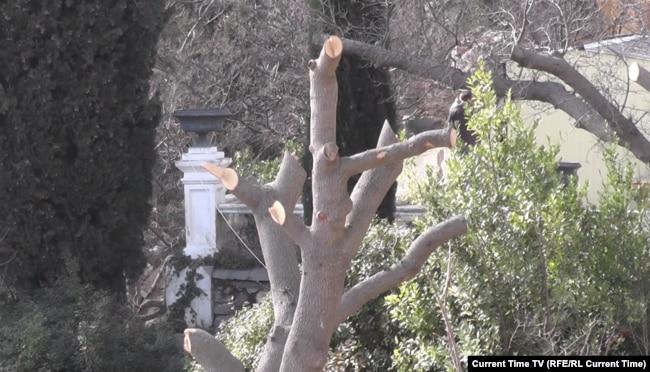 Спиленные стволы большого дерева в Форосском парке