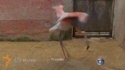 Бразилия ҳайвонот боғидаги фламингога сунъий оëқ ўрнатишди