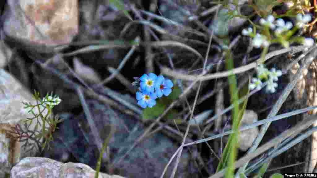 Незабудка прекрасно растет среди камней