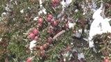 В Файзабаде урожай остался под снегом