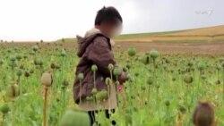 فعالیت کودکان افغان در مزارع خشخاش