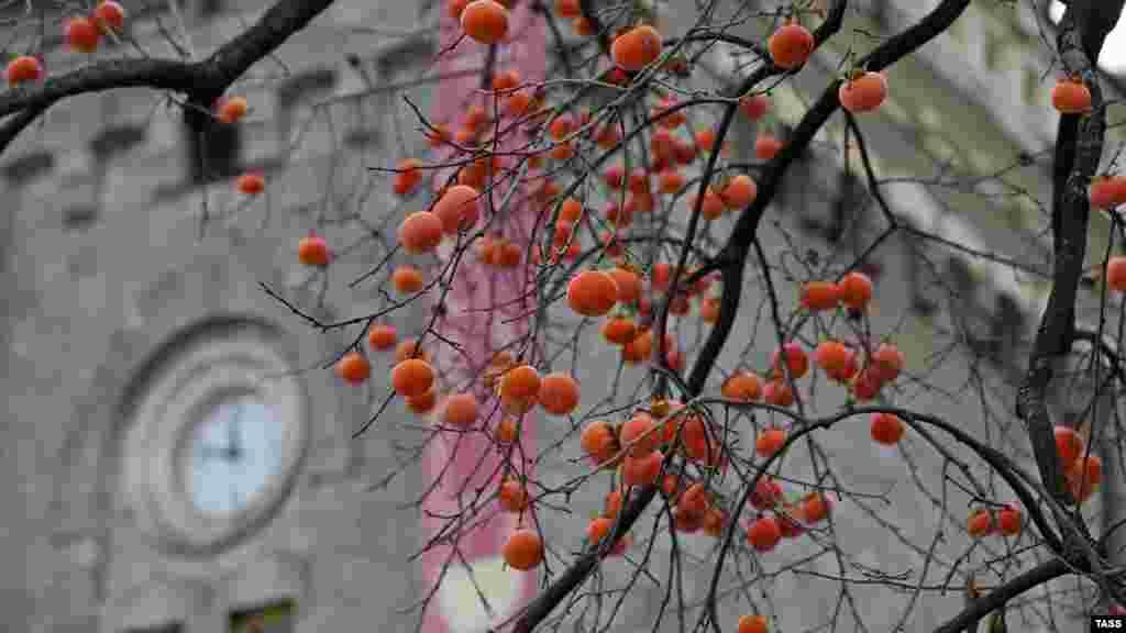 Плоды хурмы на фоне старого здания основного комплекса «Массандры»
