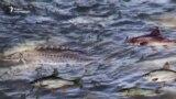 მტკვრის თევზები, რომლებიც გადაშენდნენ