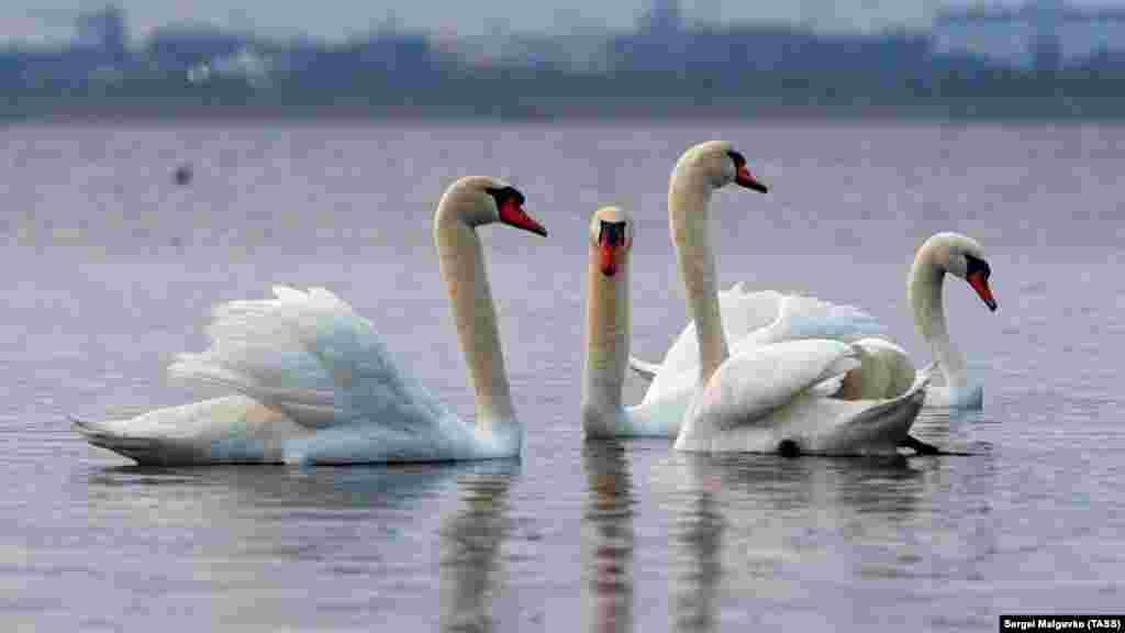 Перелітні лебеді-шипуни, які раніше мешкали на північному заході Криму, на Лебедячих островах, уже кілька років як облюбували найближчу до Євпаторії частину солоного озера Сасик-Сиваш. Дивіться фотогалерею