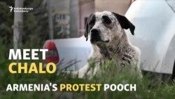 VIDEO: Armenia's Protest Pooch