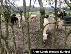 Lovakon és teheneken kívül alpakákkal is találkozhatunk