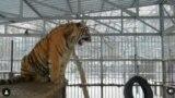 тигр барнаул
