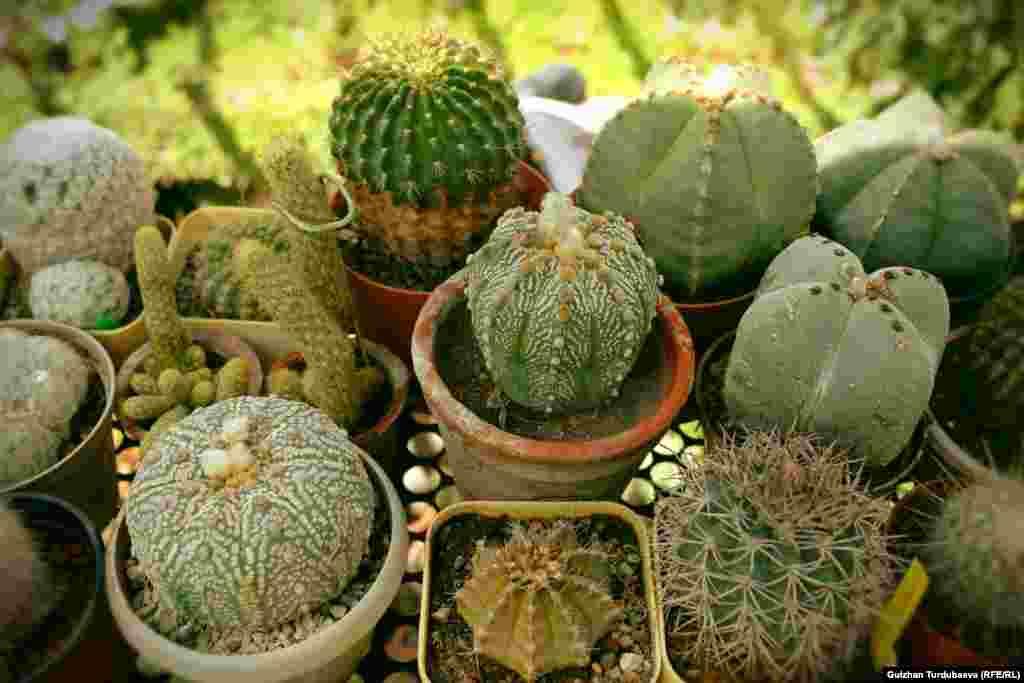 Оранжереяда кактустун 500гө жакын түрү өсөт.