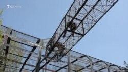 Нові вихованці «Тайгану»: в кримський парк привезли чотирьох шимпанзе (відео)
