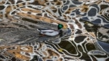 RUSSIA -- A duck swims in a river in which houses are reflected in the center of Moscow, October 15, 2020
