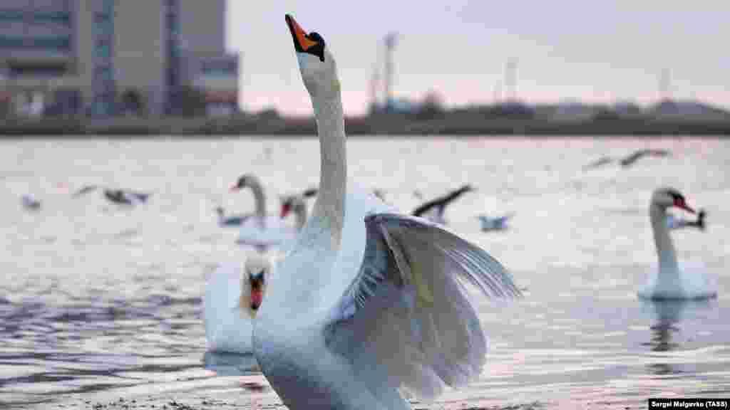 Озеро лебеді уподобали кілька років тому – прилетіли на зимівлю і вирішили залишитися