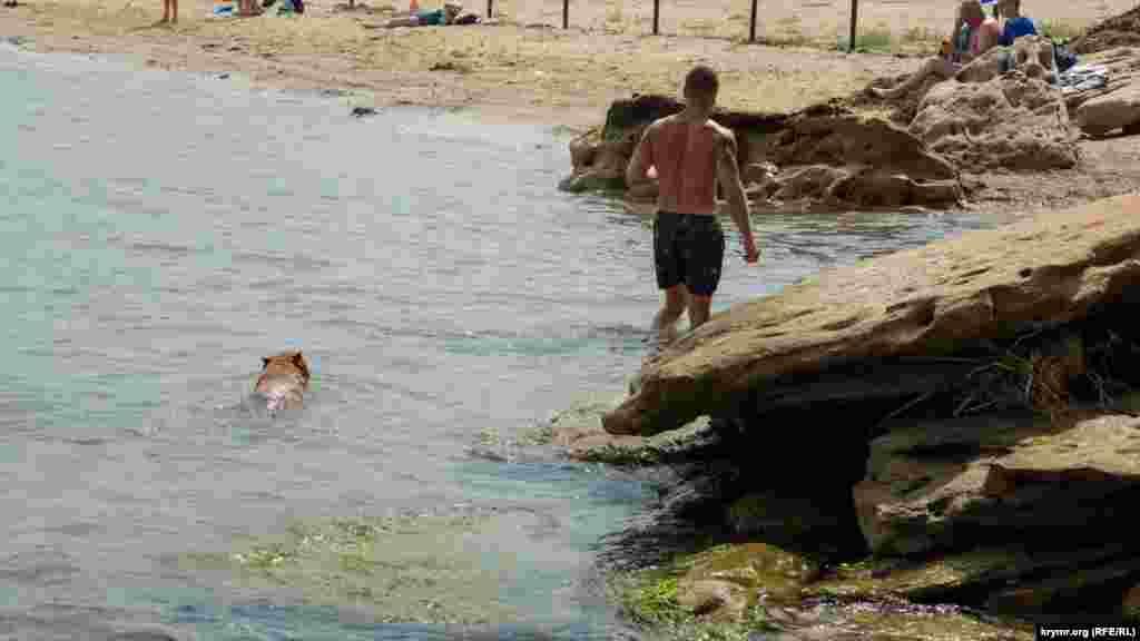 Пес бійцівської породи без намордника пливе за своїм господарем