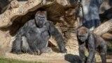 Gorillák a San Diego-i állatkert egyik társintézményében 2021. január 10-én.