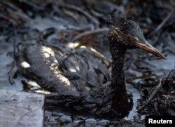 Птица, попавшая в нефтяное пятно, архивное фото