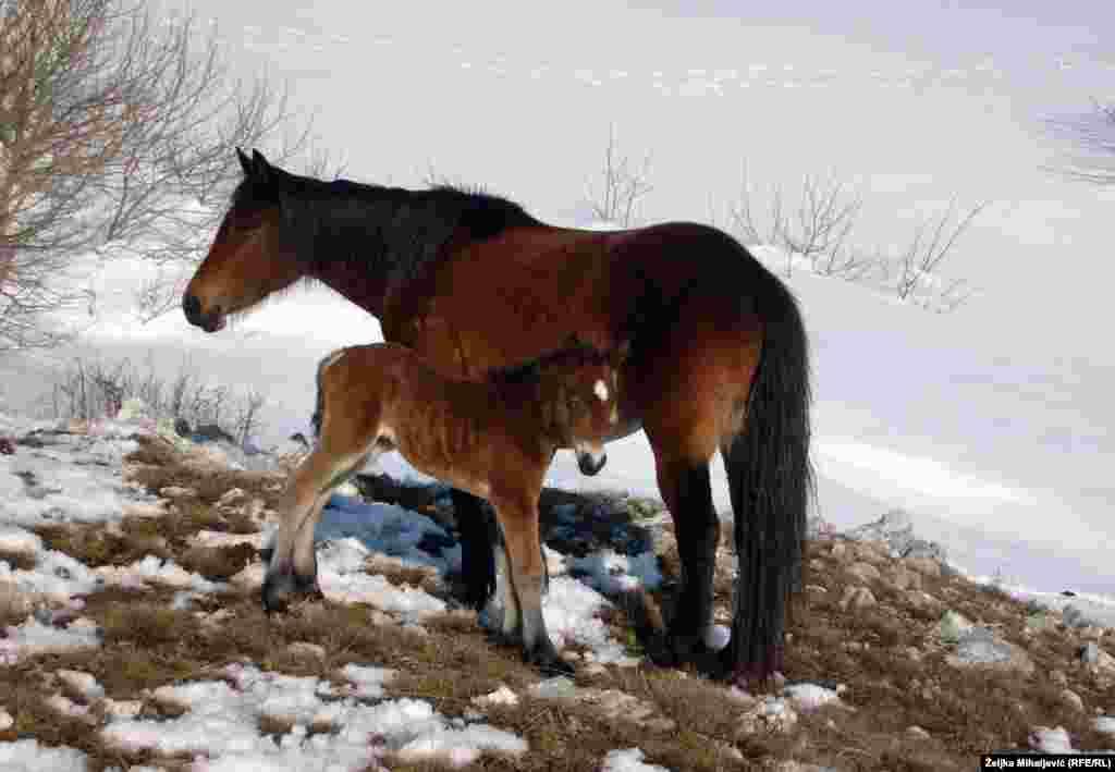Livanjski divlji konji potomci su pitomih konja koje su vlasnici pustili na slobodu polovinom prošlog vijeka.