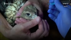 Зачем птицам на Алтае сделали татуировки?