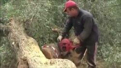 İtaliyada milyondan çox zeytun ağacları kəsilir
