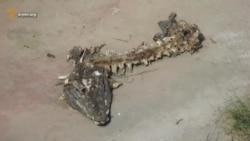 У сафарі-парку леви з'їли крокодила