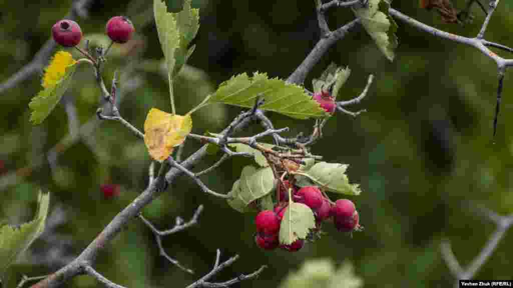 А также созревающие ягоды боярышника