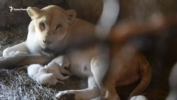 Рождение белых львят в «Тайгане» (видео)