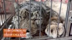 Прострелян снежен леопард се бори за живота си