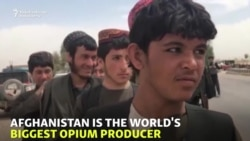 Afghans Head To Opium Poppy Harvest