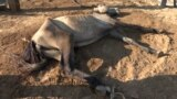 GRAB - 'A Miserable Existence': Farmers Feed Animals Cardboard As Kazakh Drought Bites