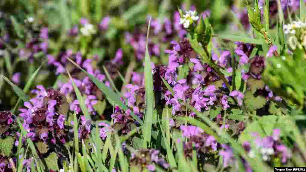 Яснотка пурпурная, ее еще называют красной крапивой и широко используют в народной медицине