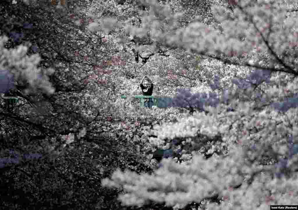 Пандемия коронавируса заставляет людей любоваться цветением сакур в масках. Парк в Токио