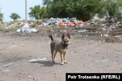 Собака на мусорной свалке. Алматинская область, 22 июня 2021 года.