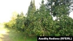 Astarada sitrus meyvələrinin yetişdirildiyi bağlar