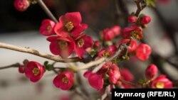 UKRAINE - Japanese quince, Alushta, 24Mar2021