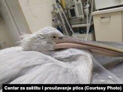Spašeni pelikan sa Ulcinjske solane