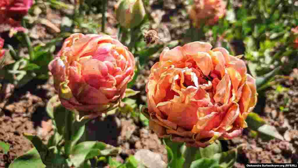 Цветущие тюльпаны в Никитском ботаническом саду, Крым