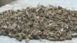 Під Рівним загинули бджоли. Селян турбує екологія