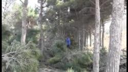 Bakıda ağaclar kəsilir... Yerində yeni yol olacaq