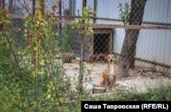 Собака во дворе Джеляловых, село Первомайское Симферопольского района, 26 сентября 2021 года