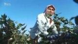Данисте: пахтазардагы кыз-келиндер